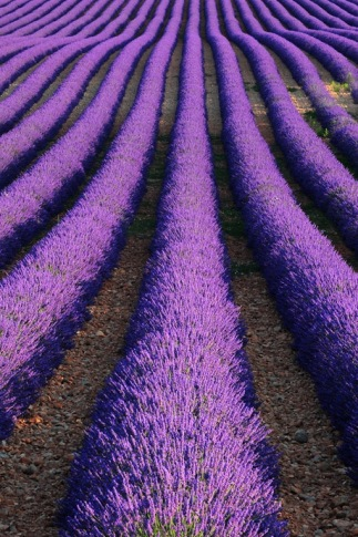 The lavender fields of Provence, France | Image: http://www.pbase.com/mikelong/image/126451700